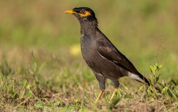 Treurmaina – Common Myna