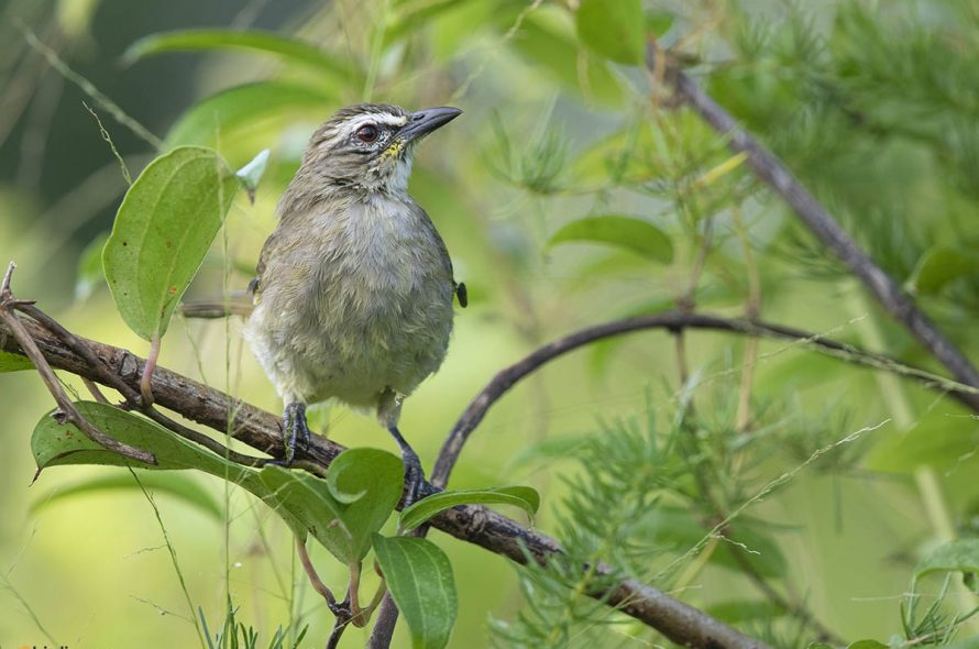 Witbrauwbuulbuul – White-browed Bulbul