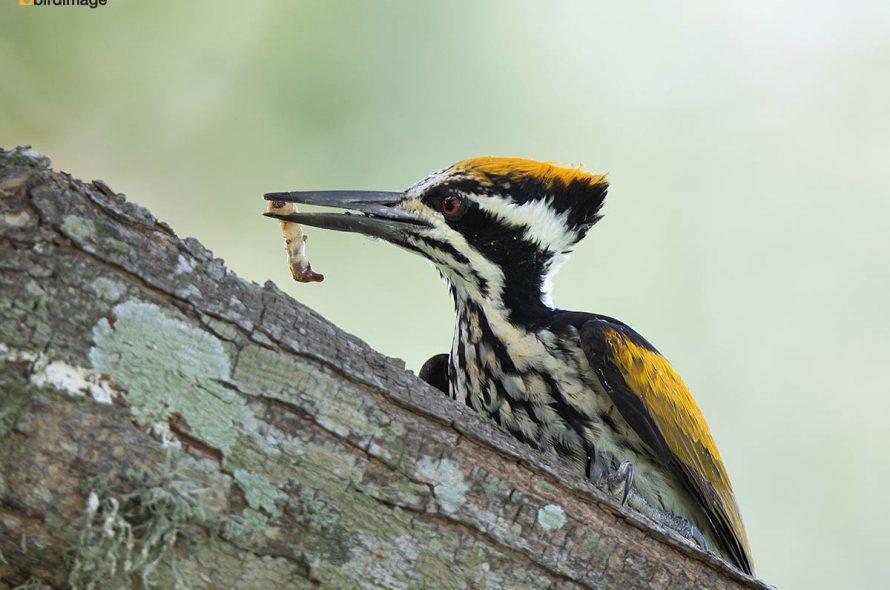 Witnekspecht – White-naped woodpecker