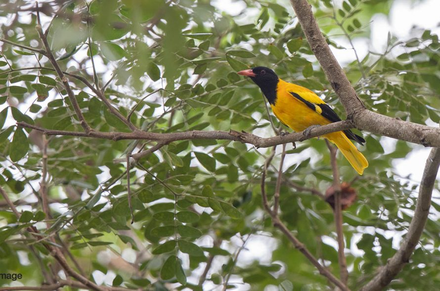 Zwartkopwielewaal – Black-hooded Oriole