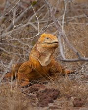 galapagos-land-iguana-chonolophus-subcristatus-02