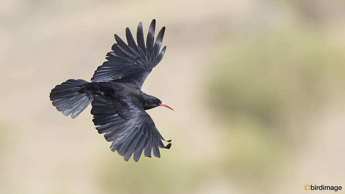 Alpenkraai – Red-billed Chough