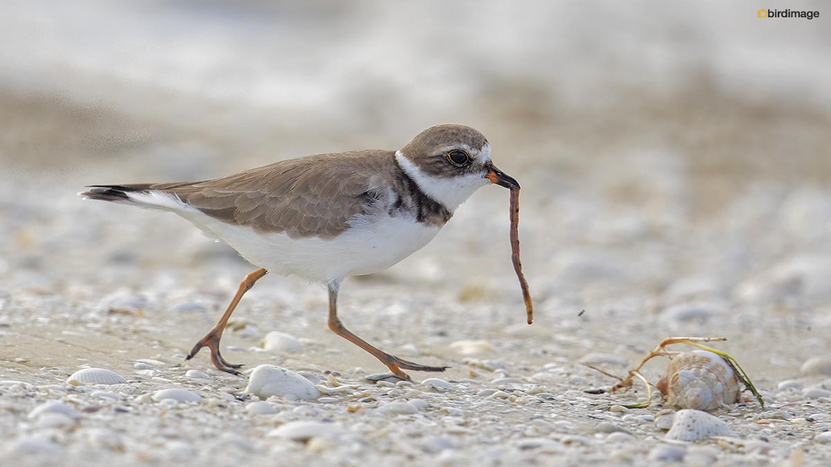 Amerikaanse Bontbekplevier – Semipalmated Plover
