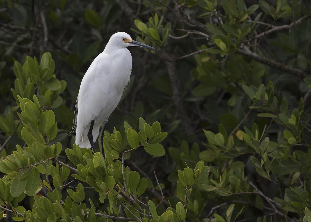 Amerikaanse kleine zilverreiger – Snowy egret