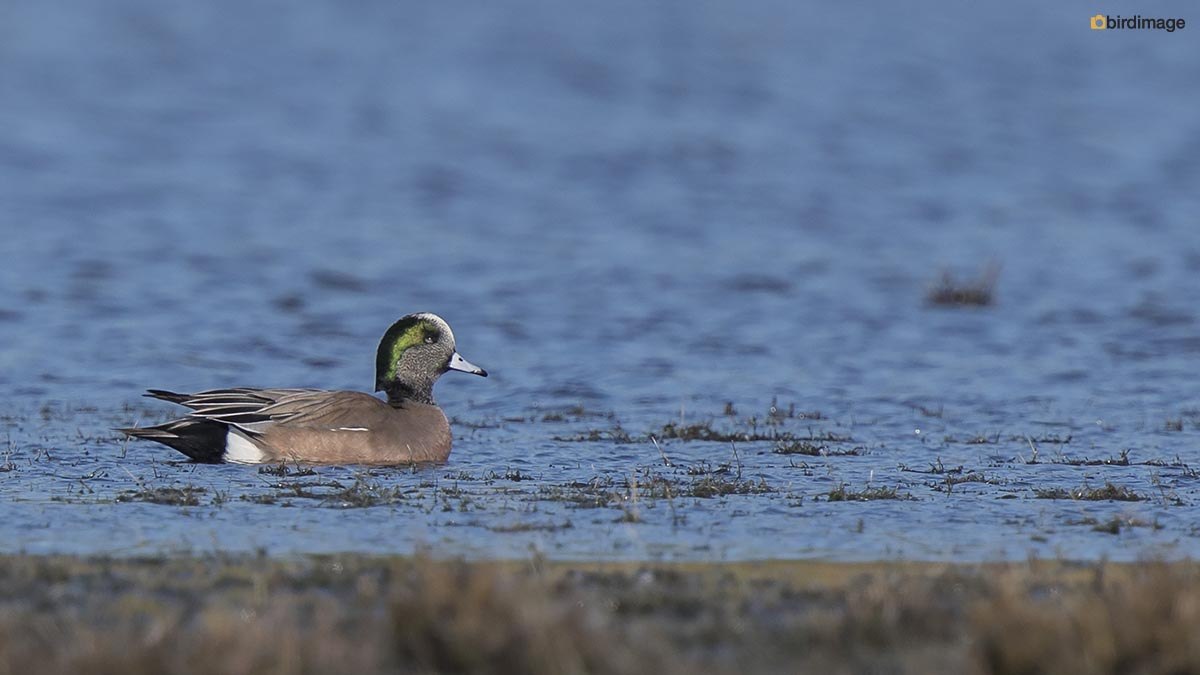 Amerikaanse smient – American wigeon