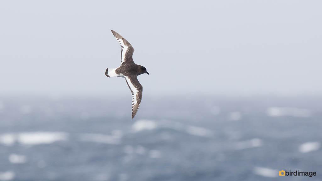 Antarctische Stormvogel – Antarctic Petrel