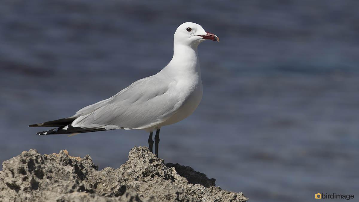 Audouins meeuw – Audouin's gull