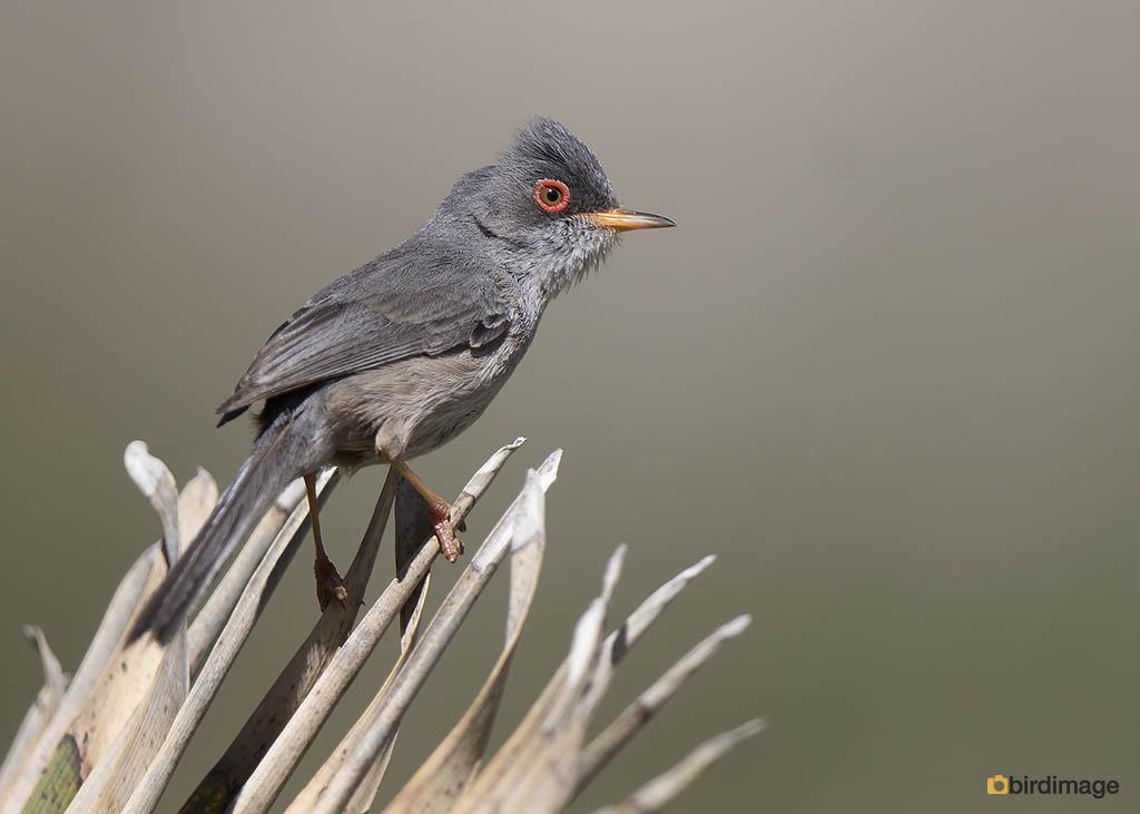 Balearische grasmus – Balearic warbler