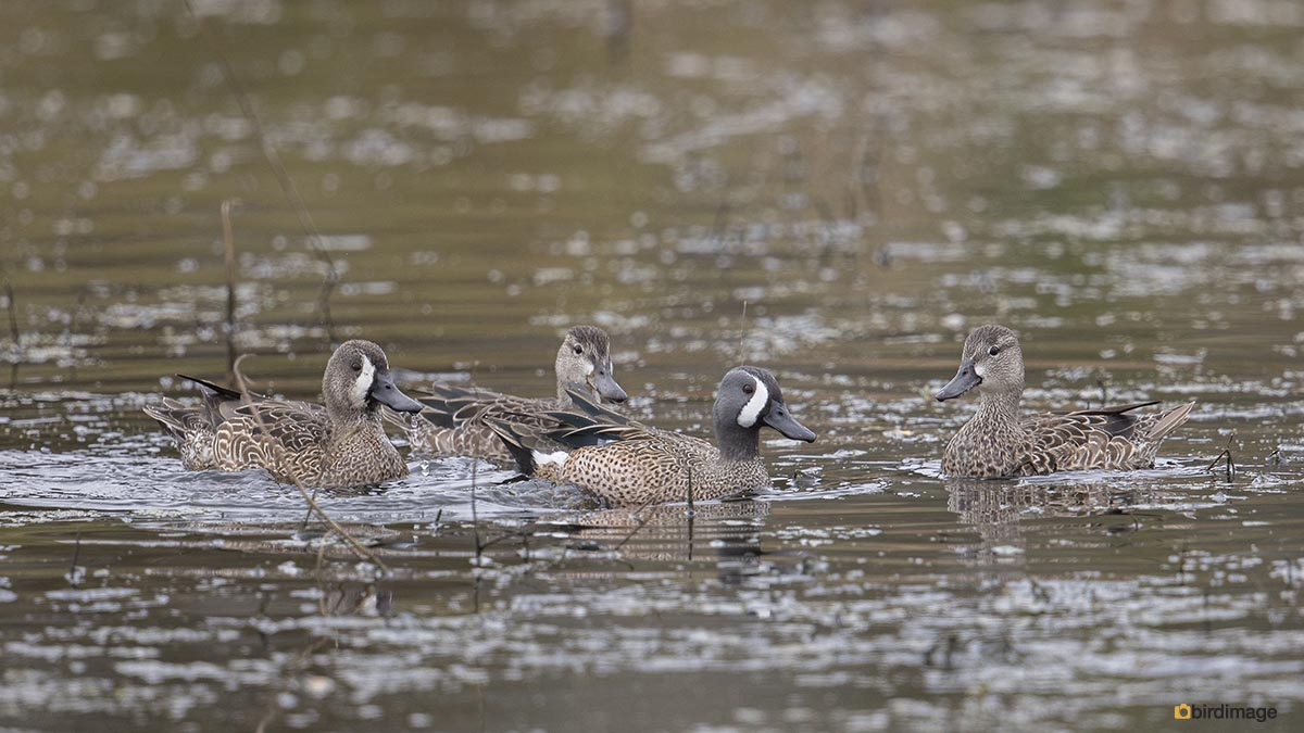 Blauwvleugeltaling – Blue-winged teal