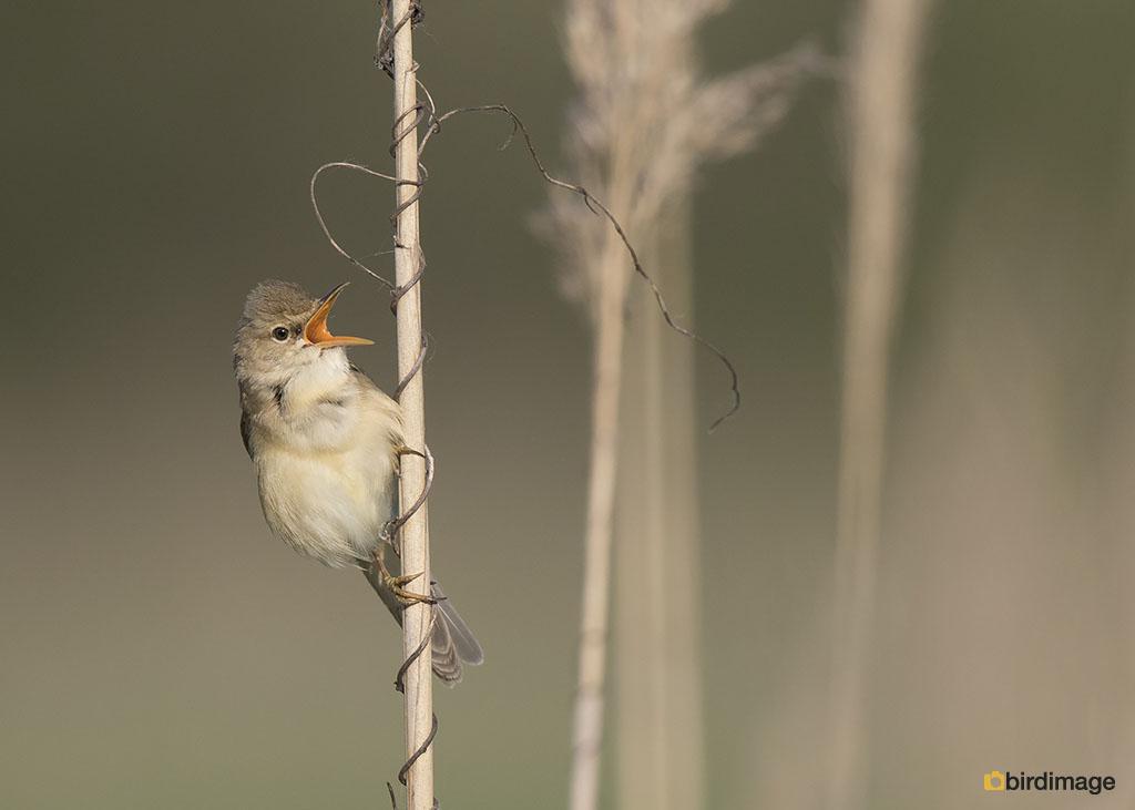 Bosrietzanger – Marsh Warbler