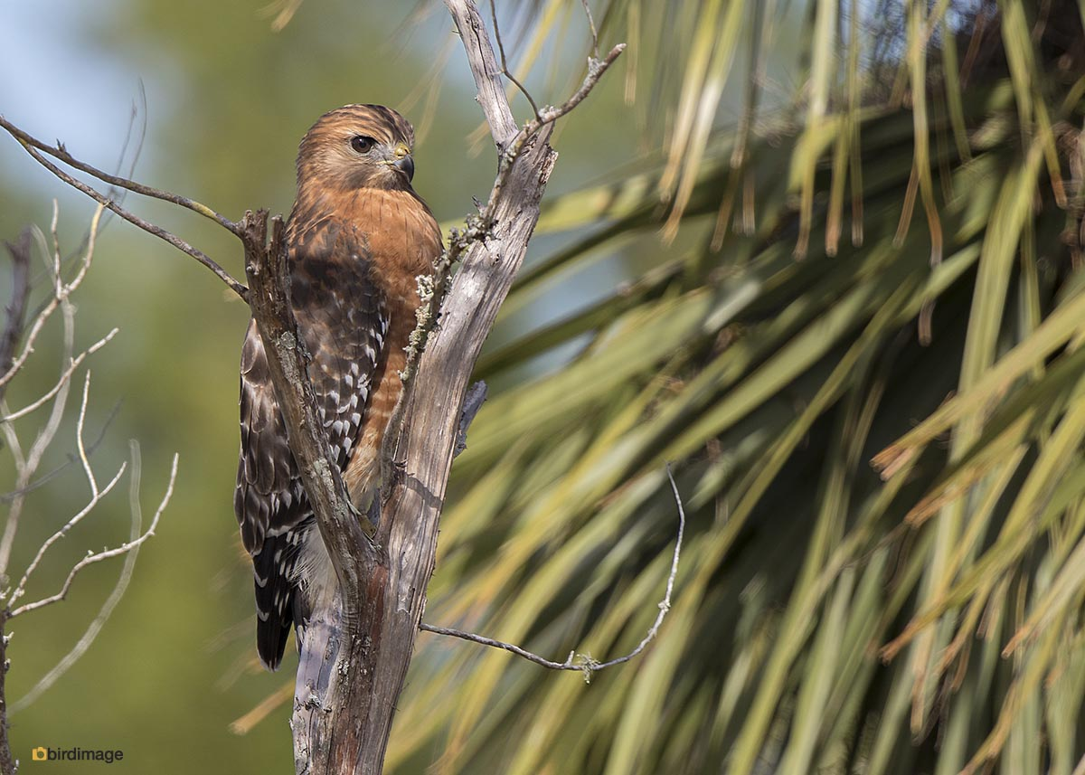 Roodschouderbuizerd – Red-shouldered Hawk