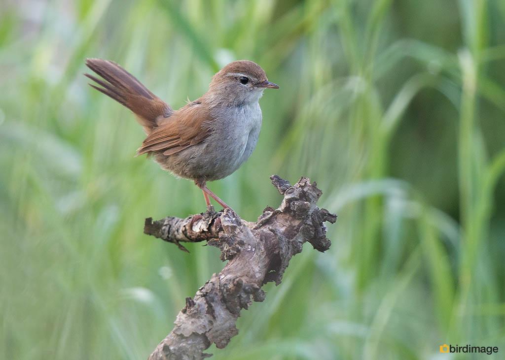 Cetti's zanger – Cetti's Warbler