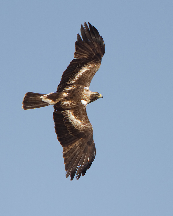 Dwergarend – Booted Eagle