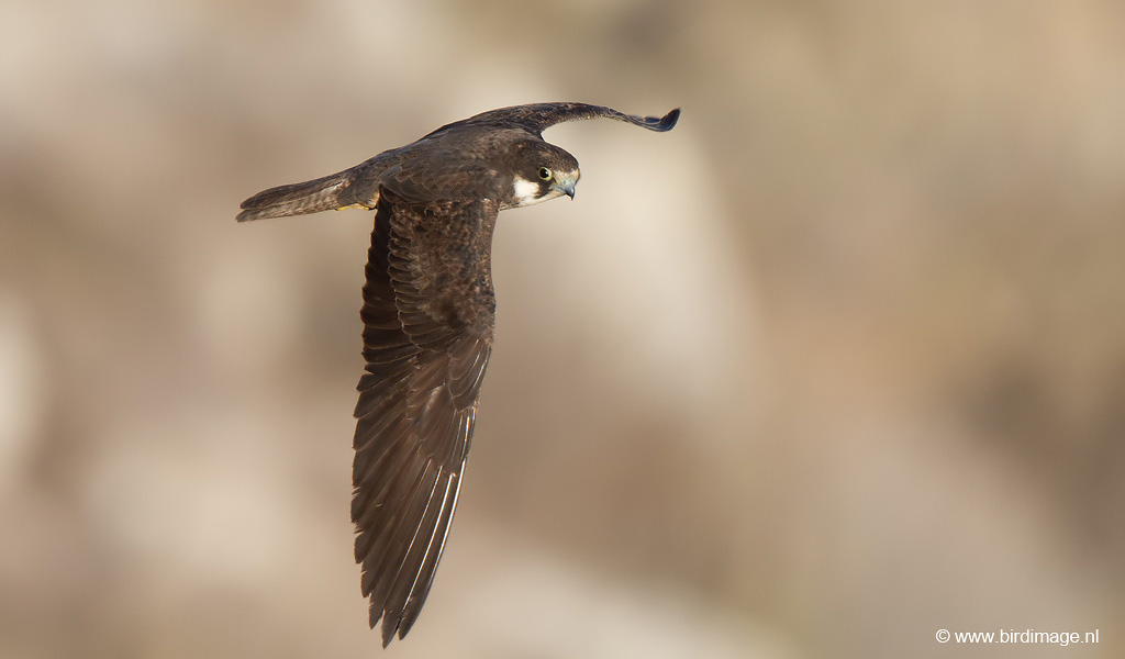 Eleonora's valk – Eleonora's falcon