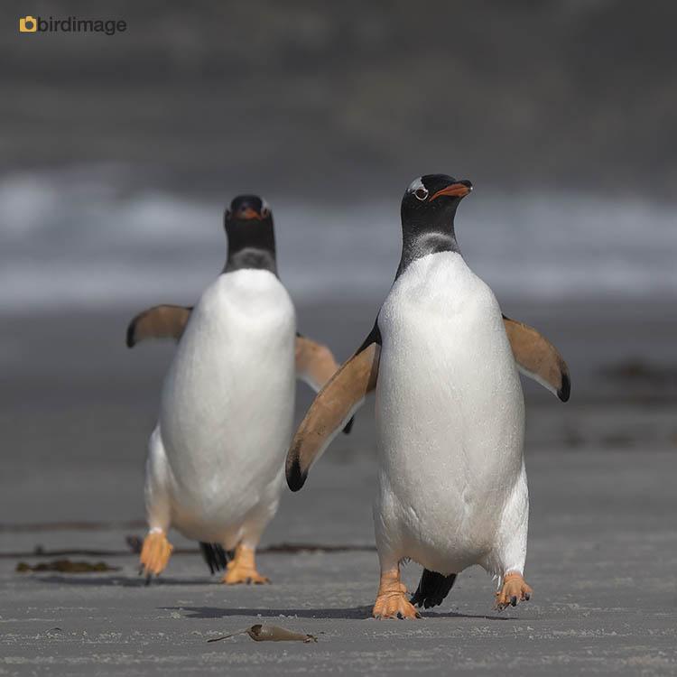 Ezelspinguïn – Gentoo Penguin