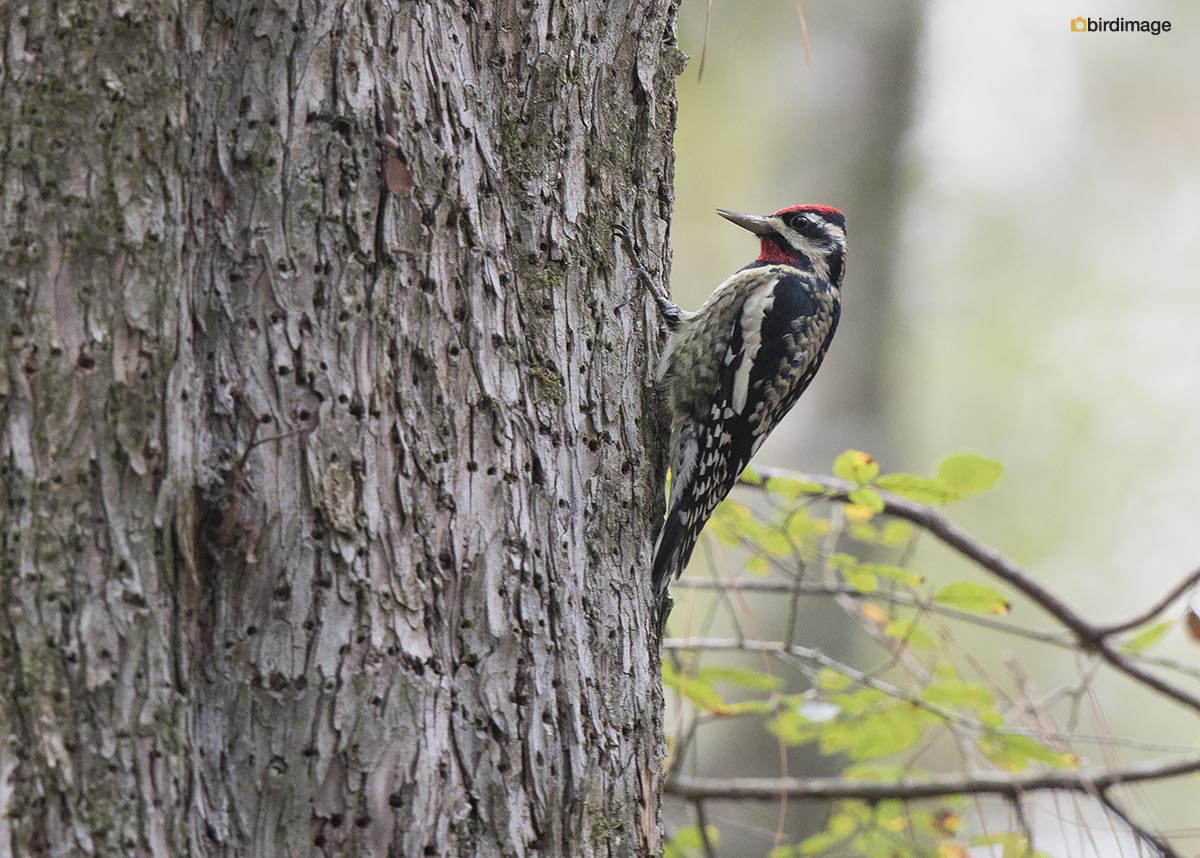 Geelbuiksapspecht – Yellow-bellied Sapsucker