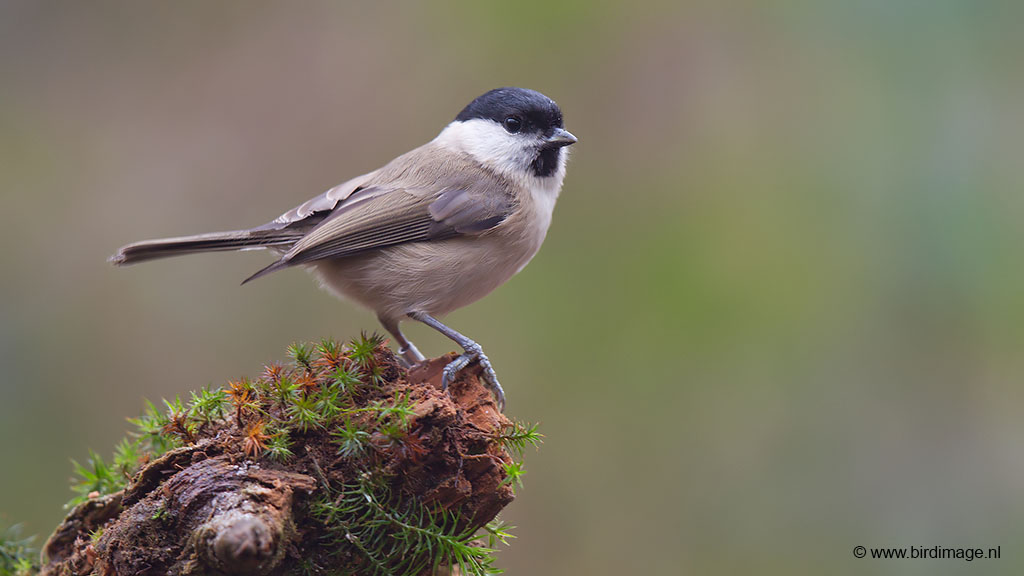 Glanskop – Marsh Tit