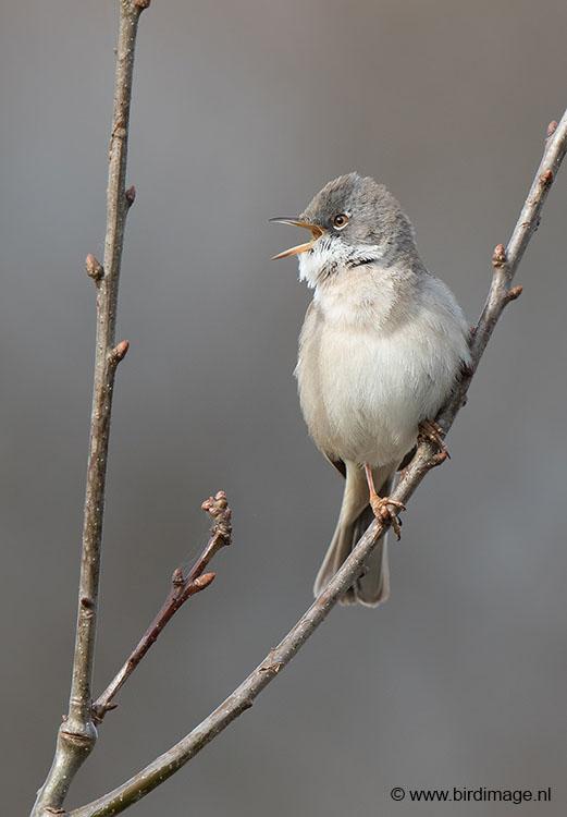 Grasmus – Barred Warbler