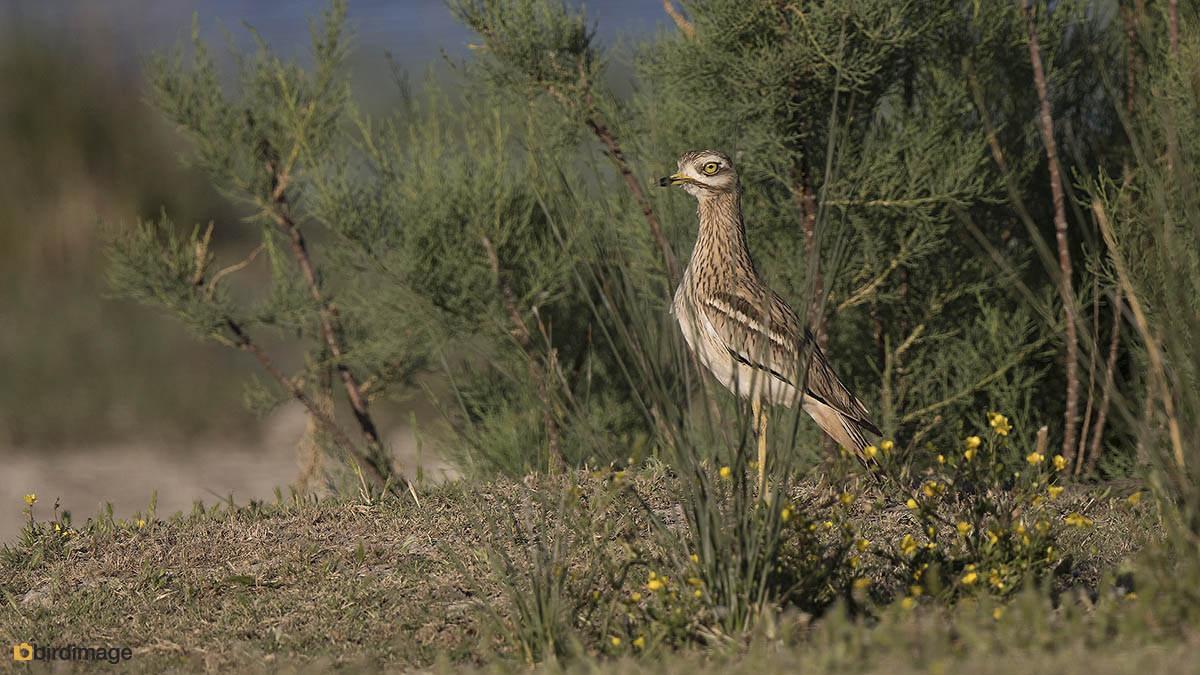Griel – Stone Curlew