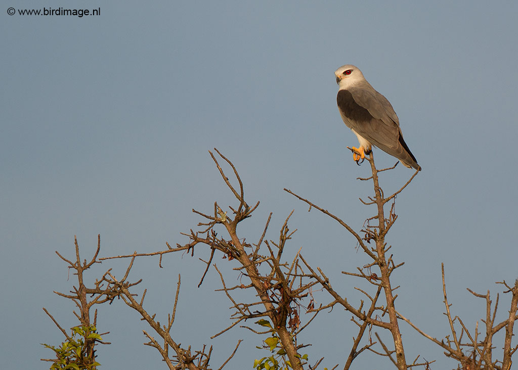 Grijze wouw – Black-winged Kite