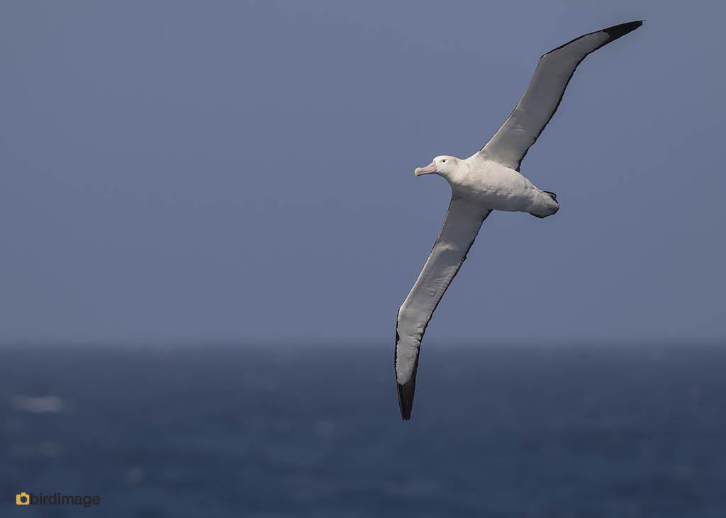 Grote Albatros – Wandering (Snowy) Albatross