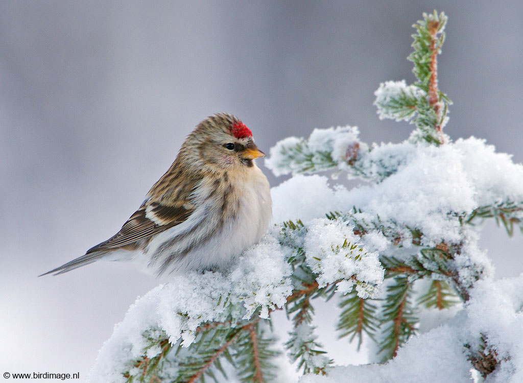 Grote Barmsijs – Mealy Redpoll