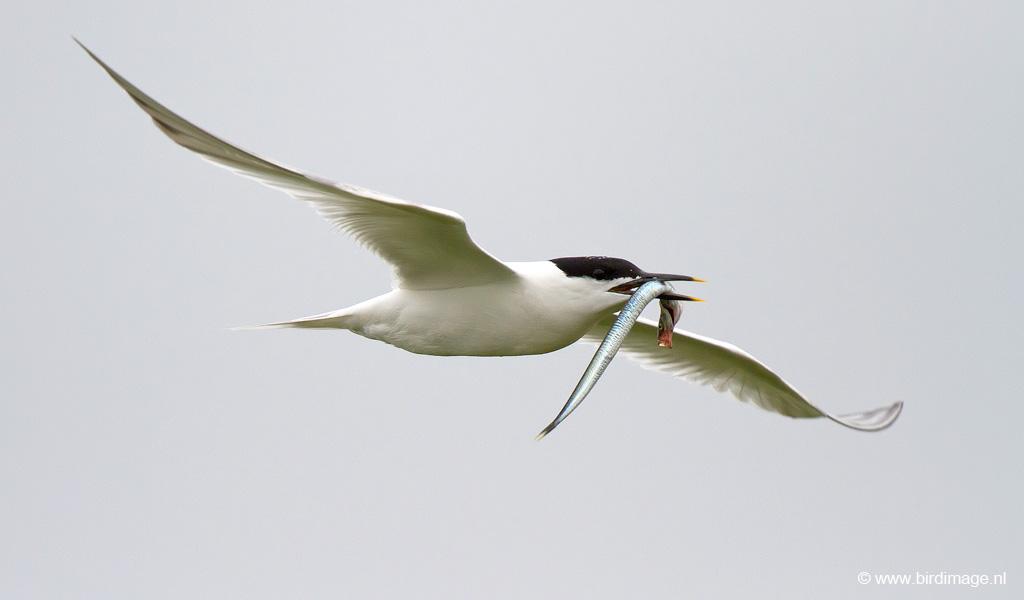 Grote Stern – Sandwich Tern