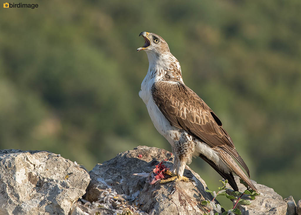 Havikarend – Bonelli's Eagle