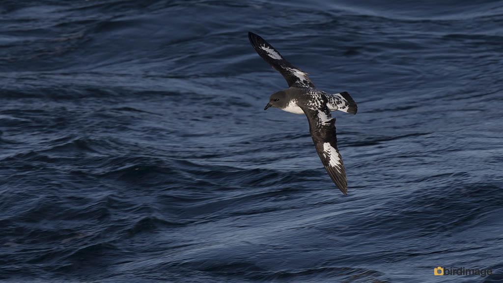 Kaapse Stormvogel – Cape Petrel