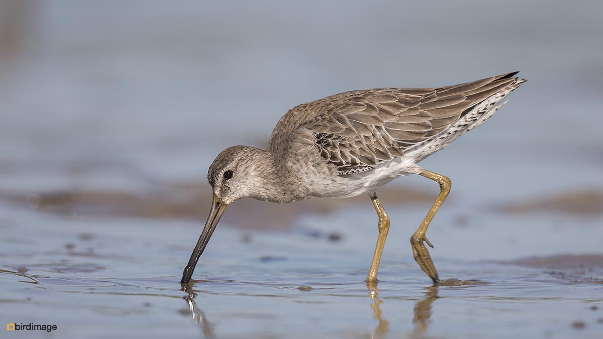 Kleine Grijze Snip – Short-billed dowitcher