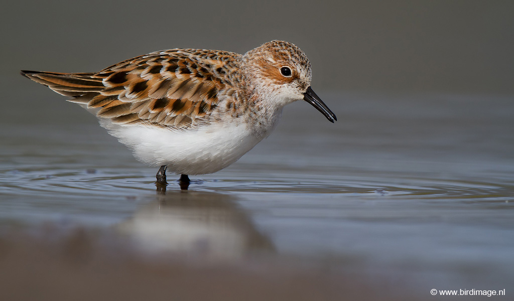 Kleine strandloper – Little Stint