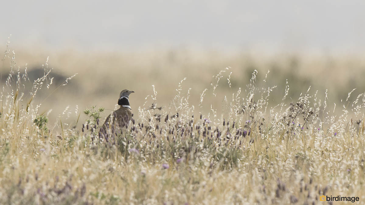 Kleine trap – Little bustard