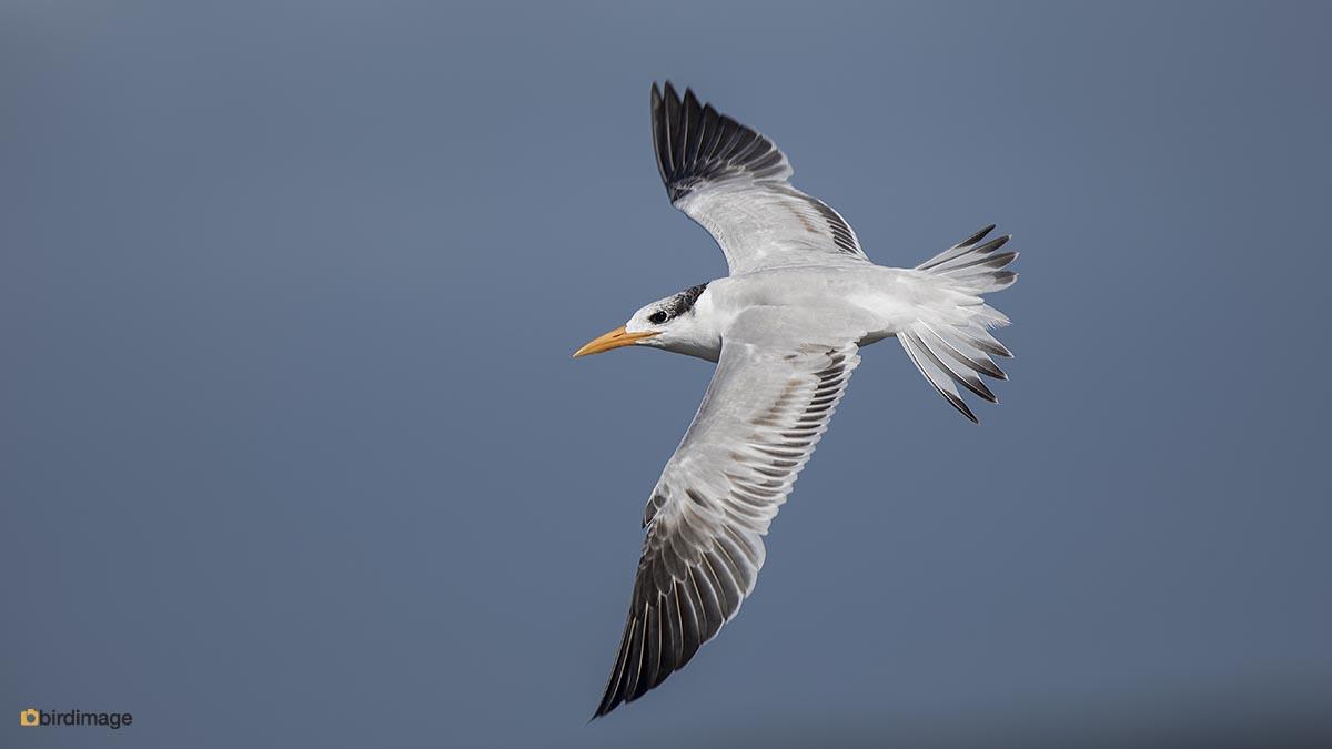 Koningsstern – Royal Tern
