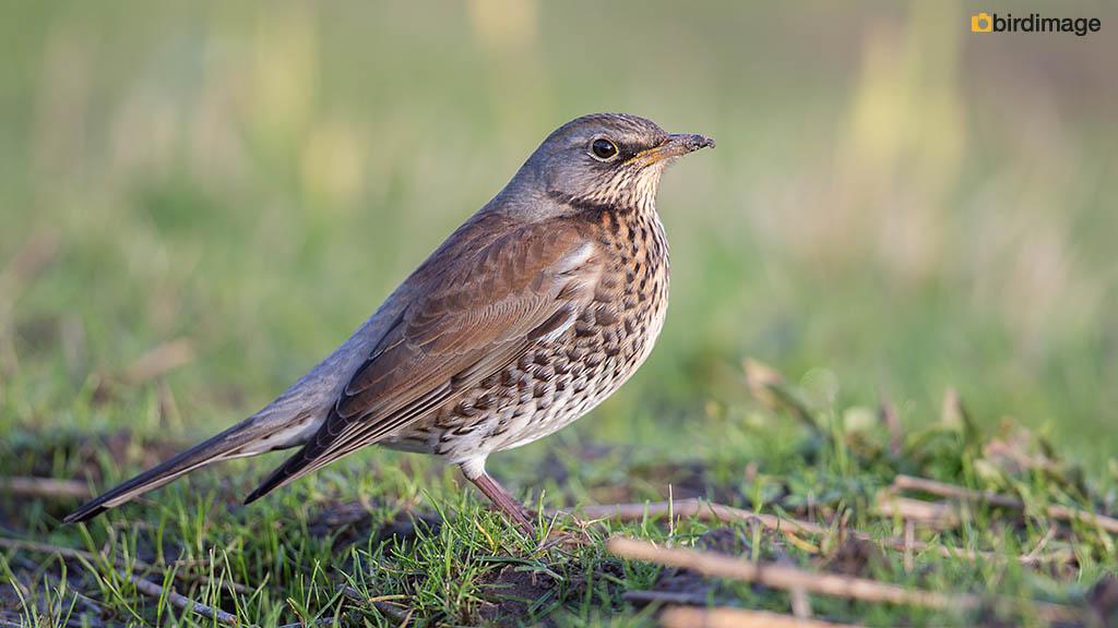 Kramsvogel – Fieldfare
