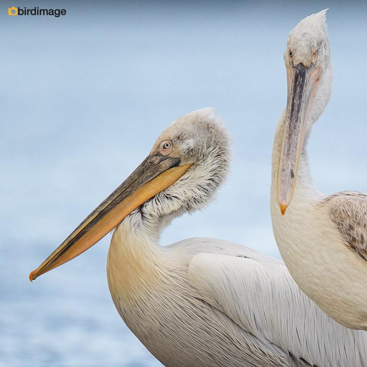 Kroeskoppelikaan – Dalmatian pelican