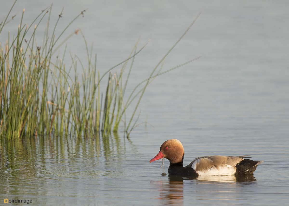 Krooneend – Red-crested Pochard