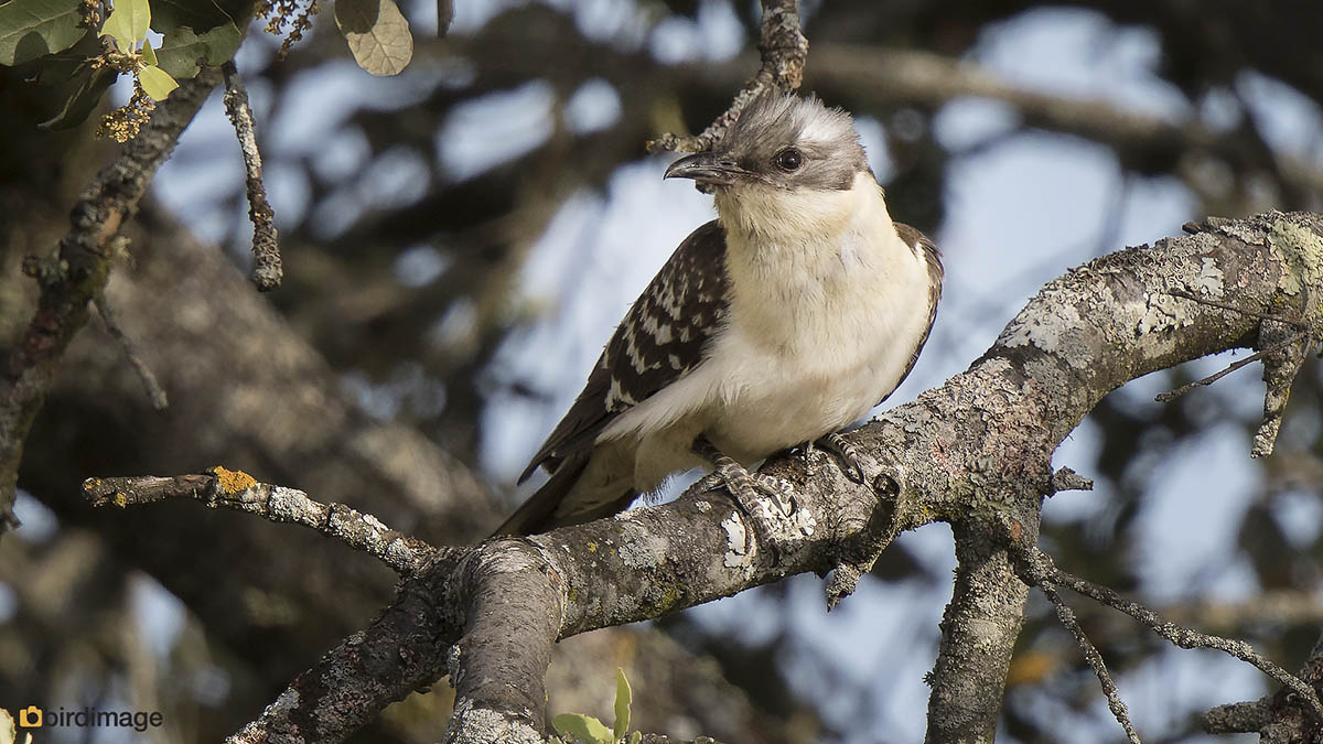 Kuifkoekoek – Great spotted Cuckoo