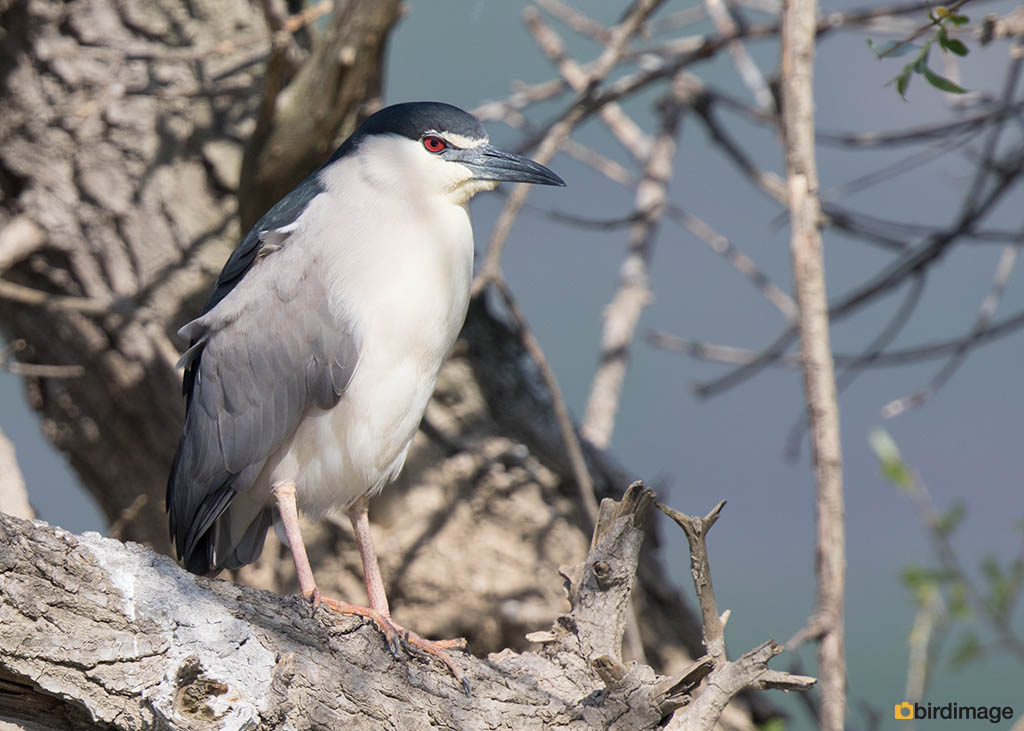Kwak – Night heron