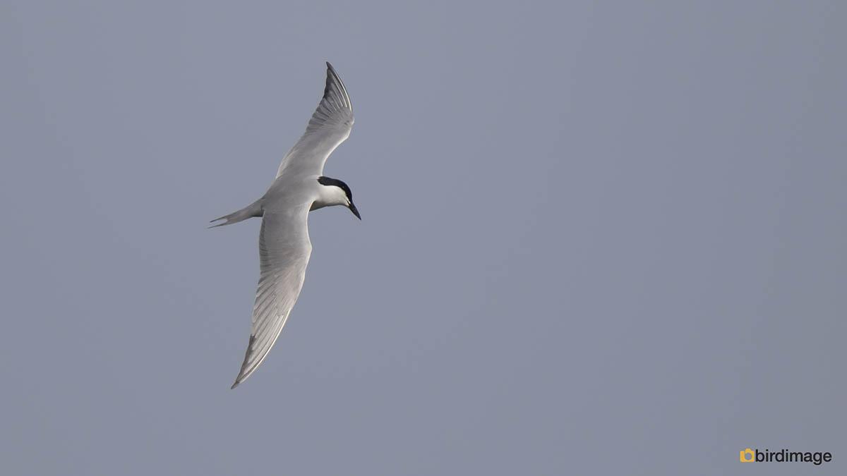 Lachstern – Gull-billed Tern