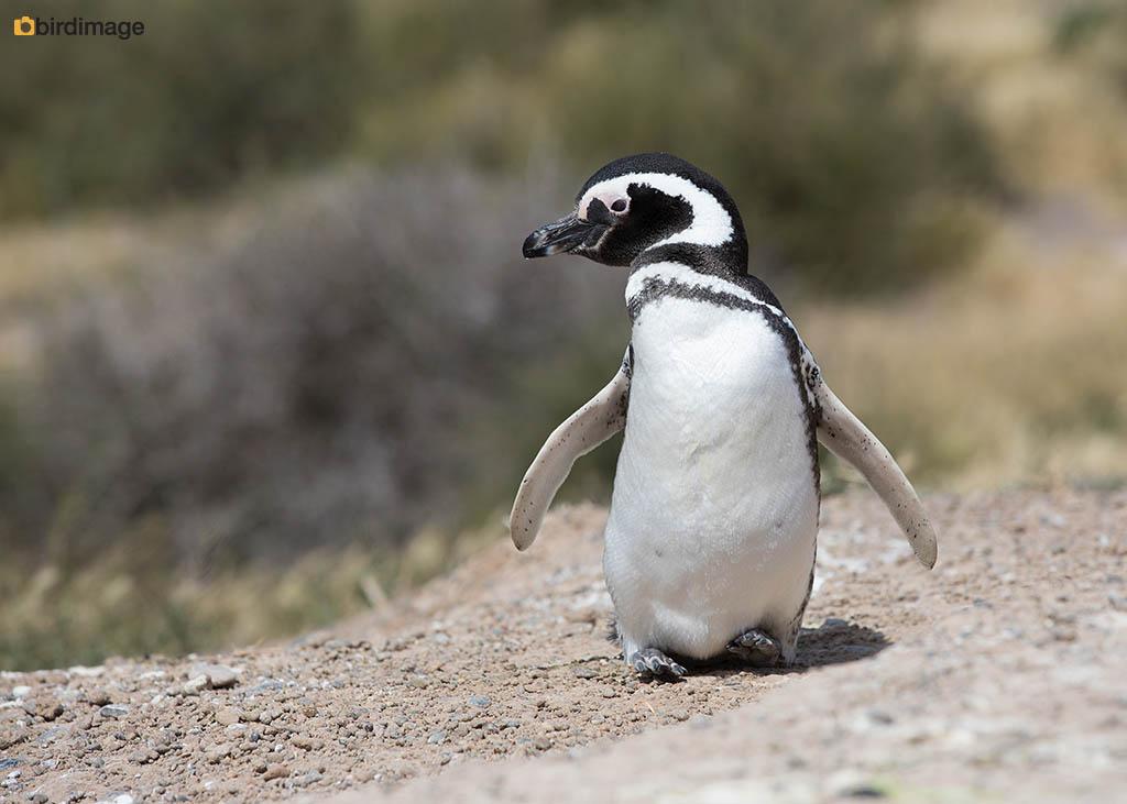 Magelhaenpinguïn – Magellanic Penguin