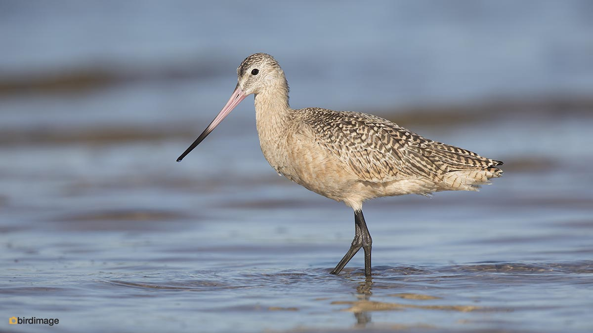 Marmergrutto – Marbled Godwit