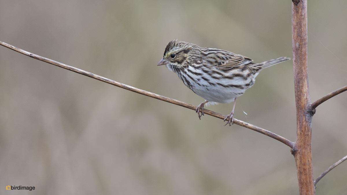 Moerasgors – Swamp Sparrow
