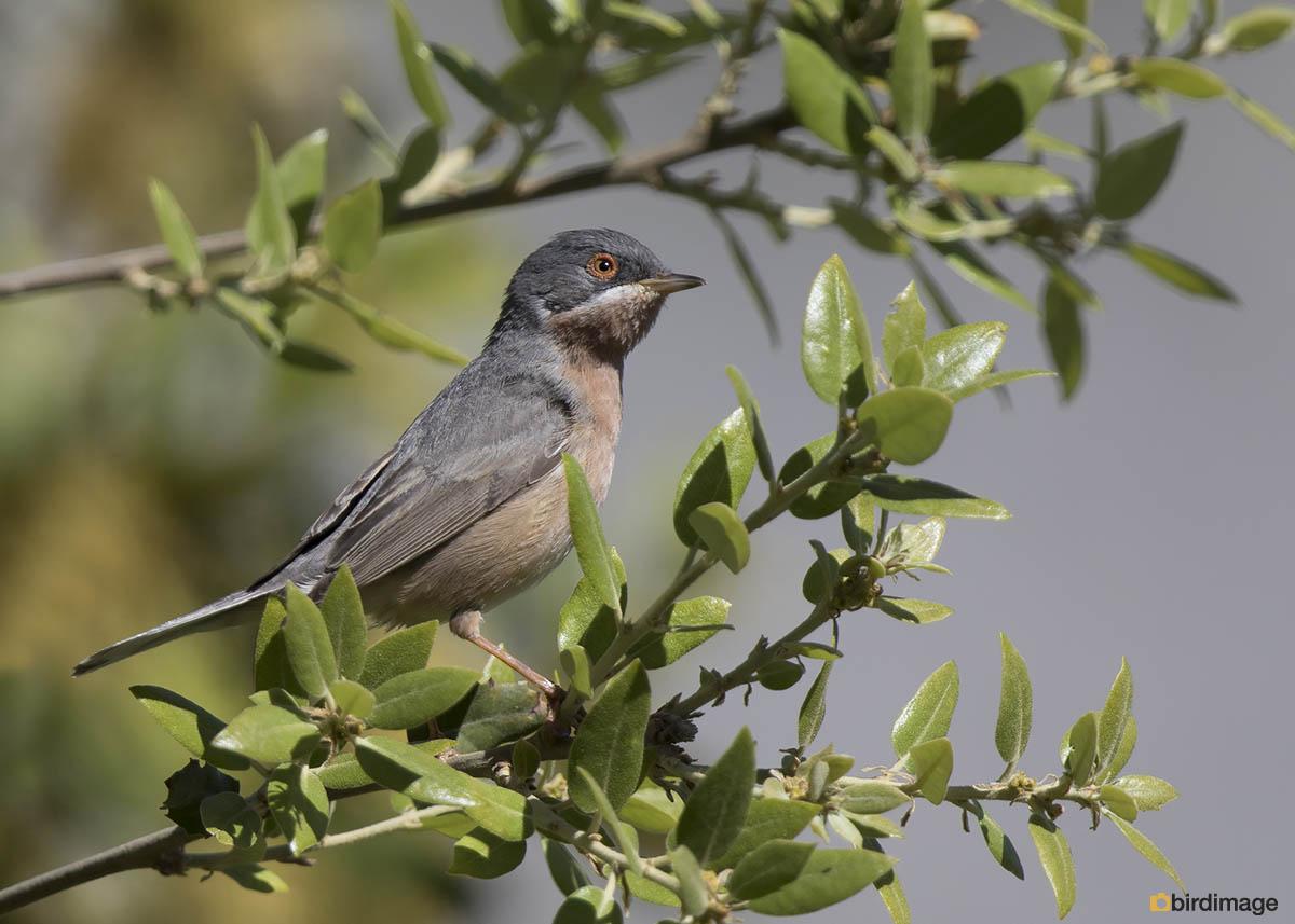 Moltoni's Baardgrasmus – Moltoni's warbler