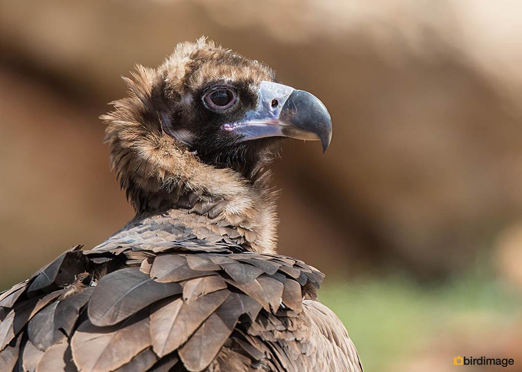 Monniksgier – Cinereous Vulture