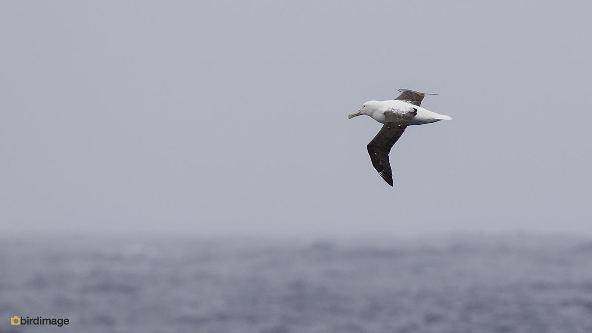 Noordelijke Koningsalbatros – Northern Royal Albatross