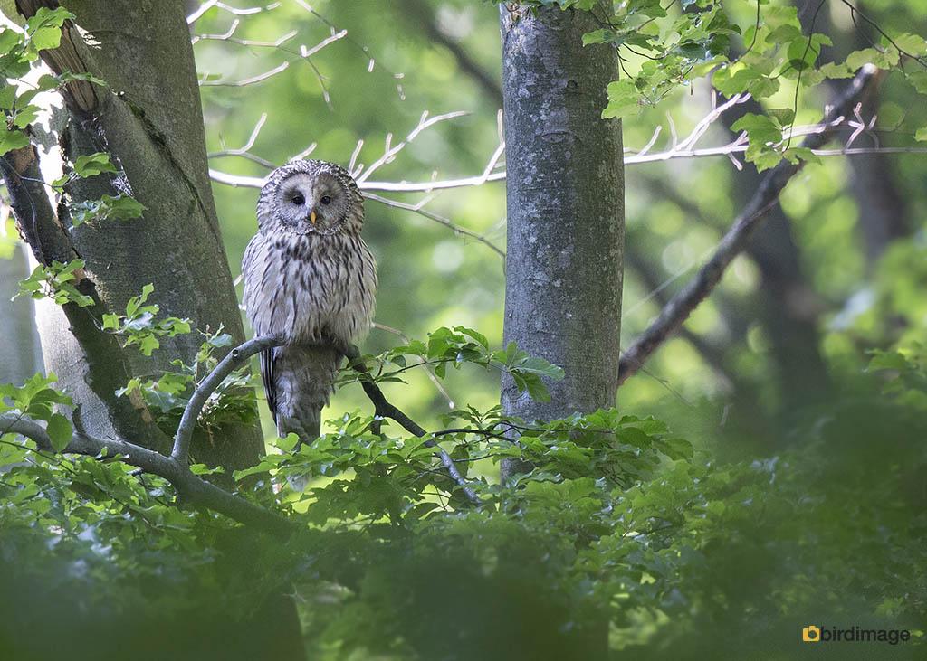 Oeraluil – Ural Owl