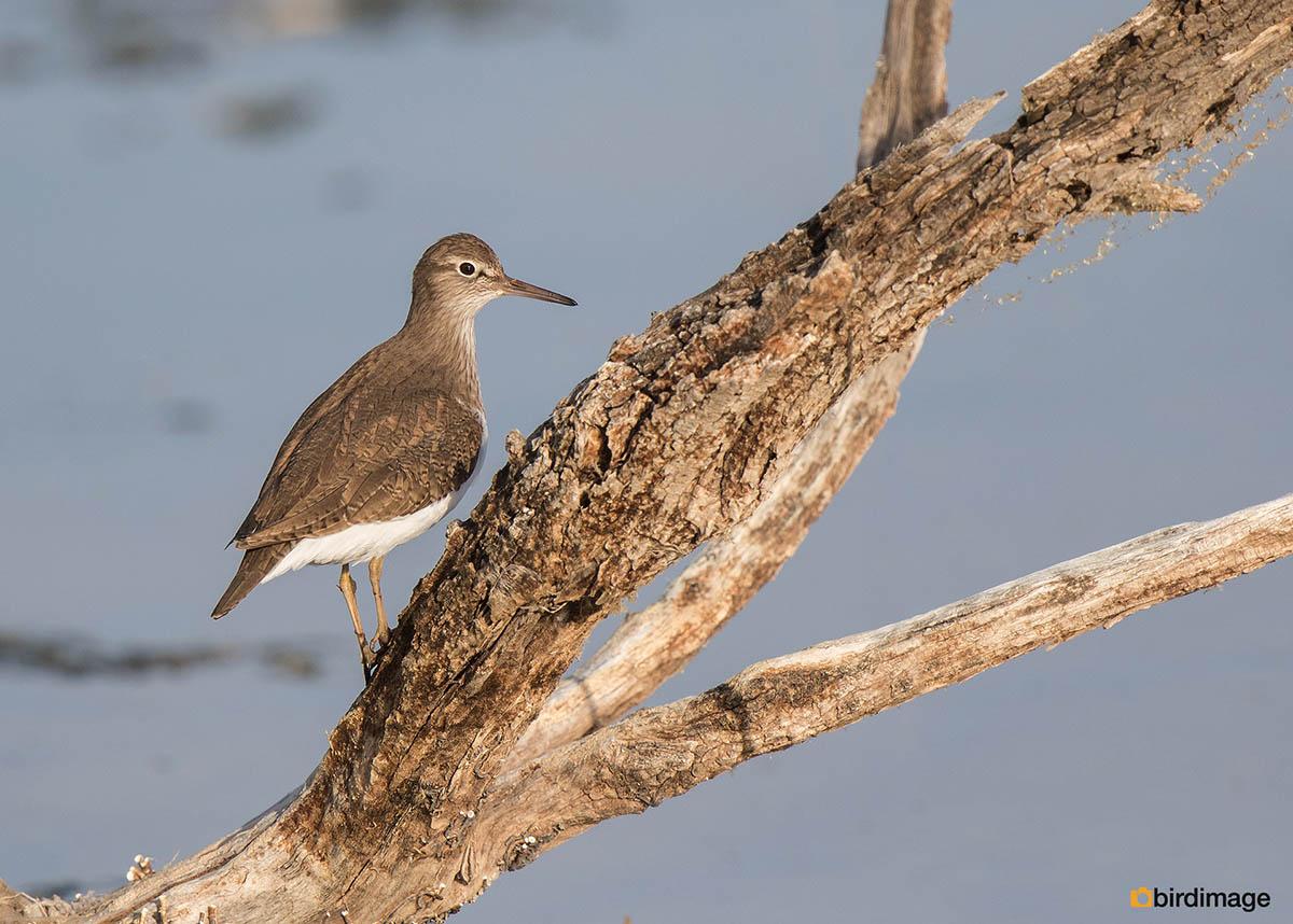 Oeverloper – Common Sandpiper