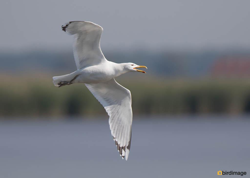 Pontische meeuw – Caspian Gull