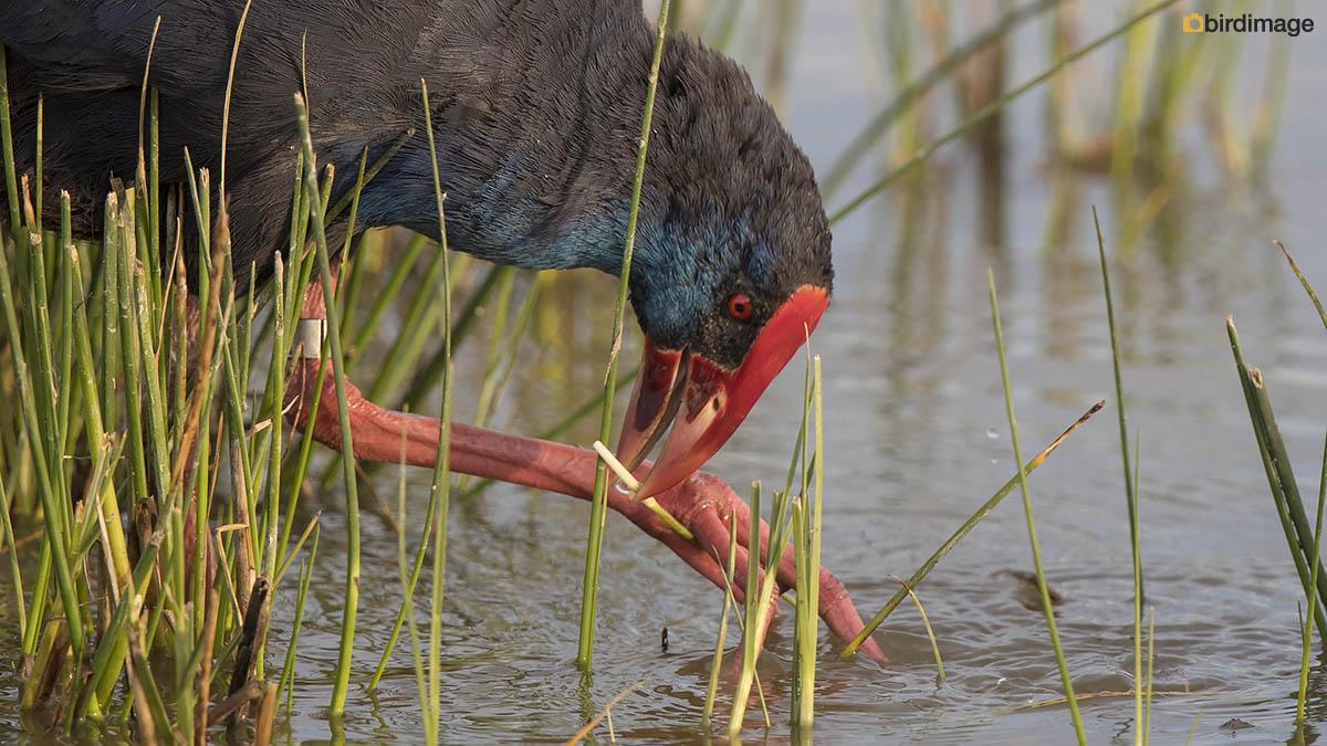 Purperkoet – Purple Swamp-hen