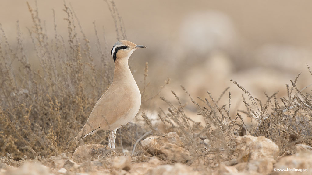 Renvogel – Cream-colored Courser